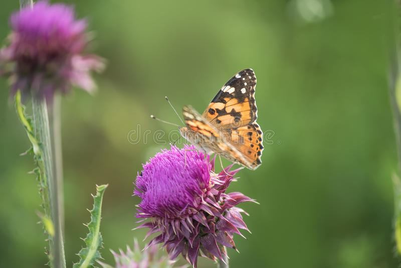 Lilac Thistle flower and butterfly urticaria on a green meadow. Selective soft focus. royalty free stock image
