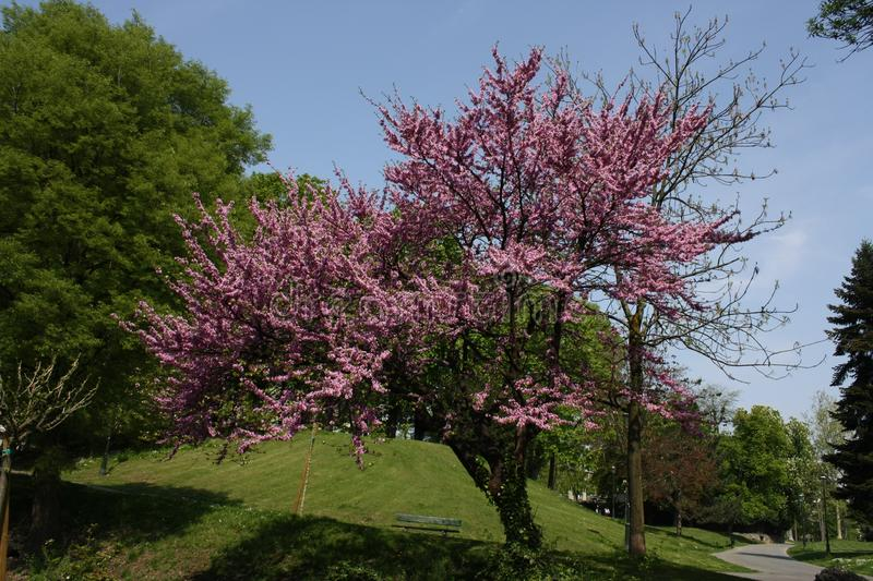Download Lilac tree stock image. Image of lilac, plant, park, peach - 8987623