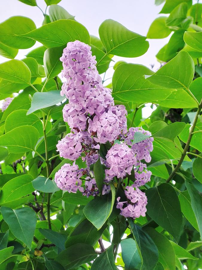 Lilac on a tree royalty free stock photo
