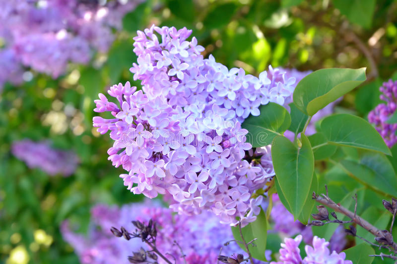 Lilac tree - Syringa royalty free stock photo