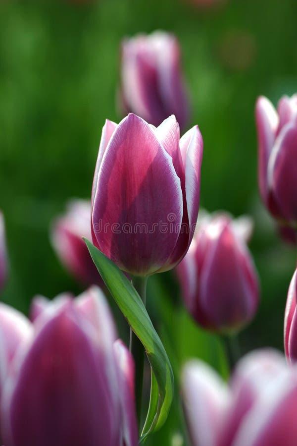 Lilac tulp stock foto