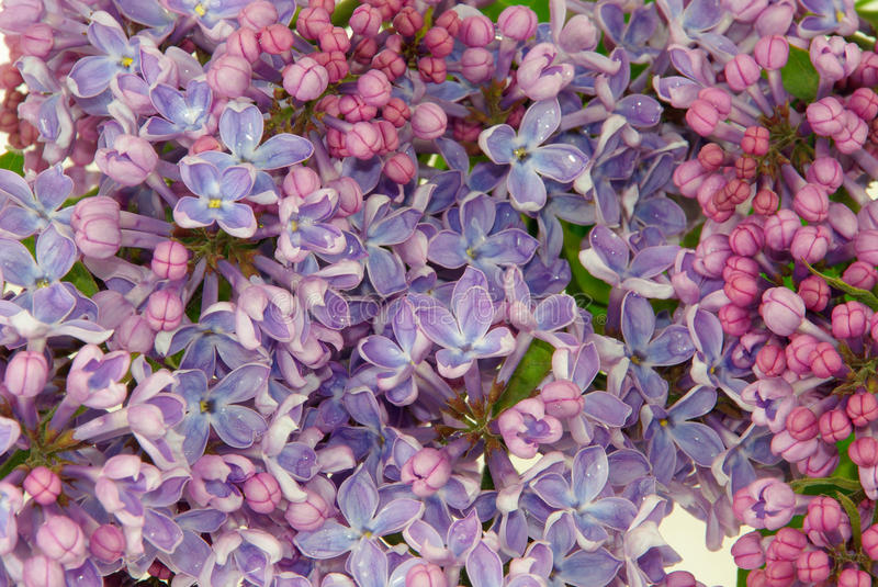 Download Lilac on white stock photo. Image of branch, bunch, bloom - 11403054