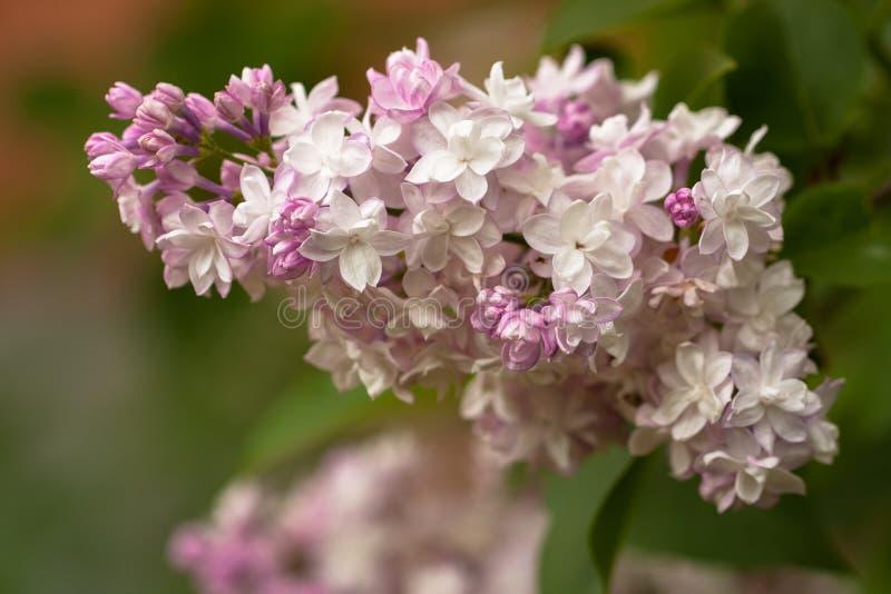 Lilac white purple color in spring garden stock photo image of download lilac white purple color in spring garden stock photo image of botany mightylinksfo