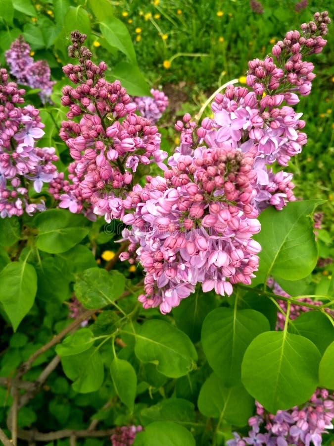 lilac witte badstof royalty-vrije stock fotografie
