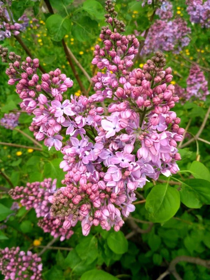 lilac witte badstof stock fotografie