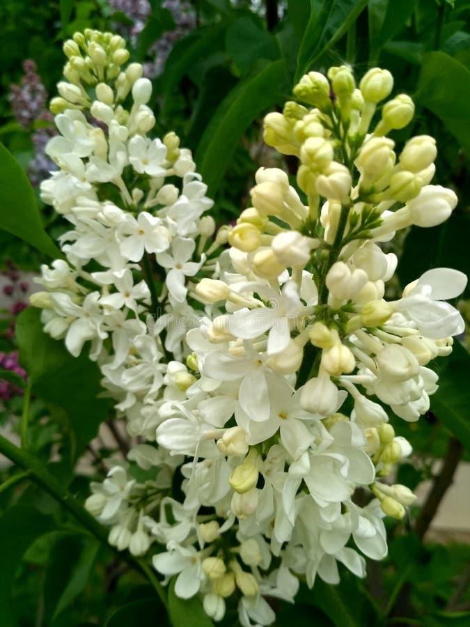 lilac witte badstof royalty-vrije stock afbeeldingen