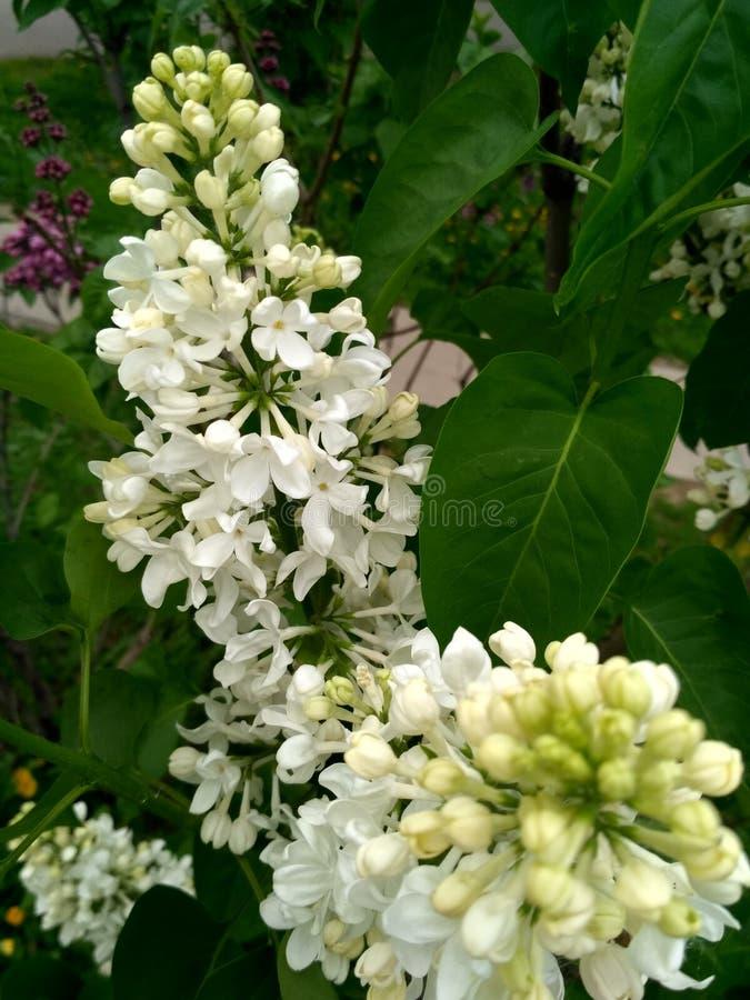 lilac witte badstof stock afbeelding