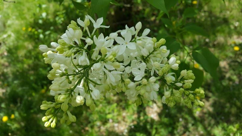 lilacs fotografia de stock royalty free