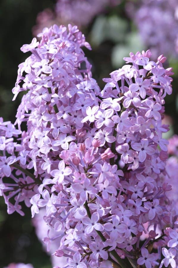 Download Lilacs stock image. Image of grow, beauty, closeup, budding - 732653
