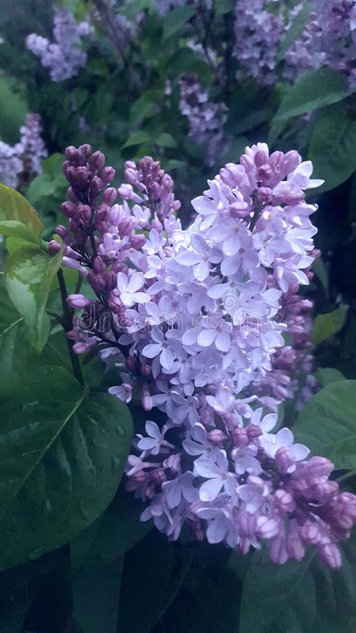 Lilacs in bloom stock photo