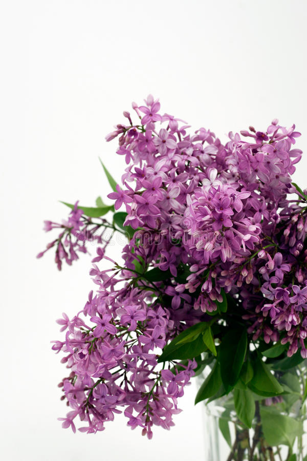 Lilacs with Copy Space Above