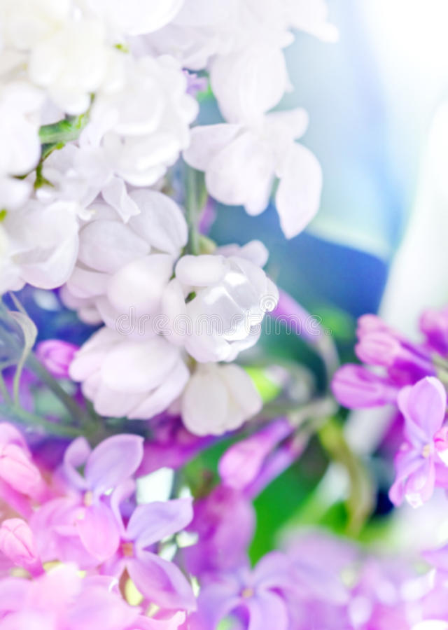 Lilacs in different colors stock photo