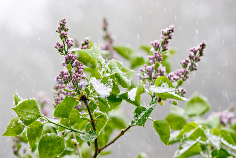 Lilacs in a snowfall. Budding & blooming Lilac flowers caught in an unexpected late spring snowfall. A reminder to gardeners against planting too early in the stock photos
