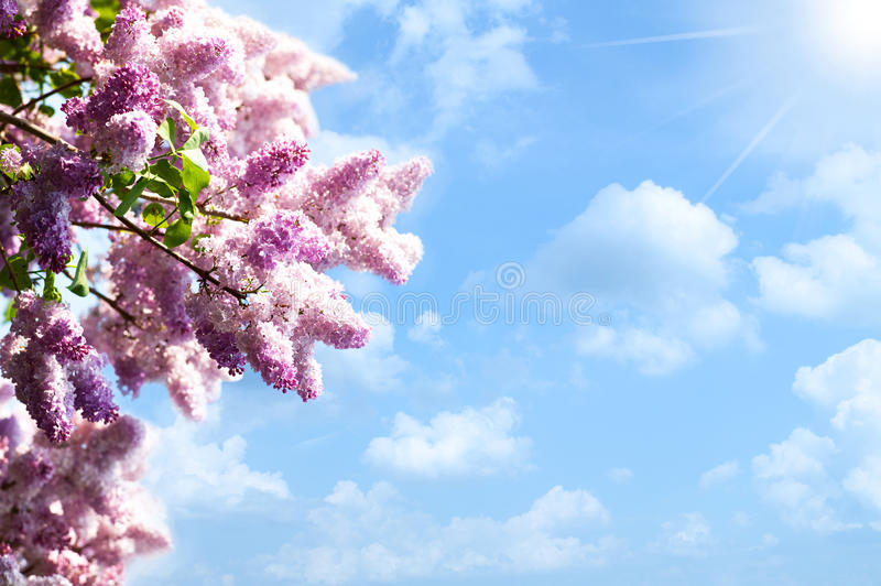 Download Lilacs tree stock photo. Image of celebration, meadow - 24786538