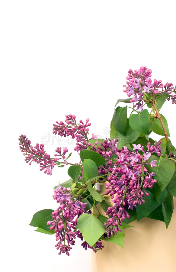 Lilacs on white stock image