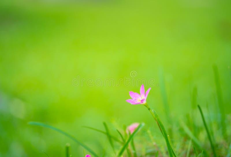 Lilagräsblomma på grön bakgrund fotografering för bildbyråer