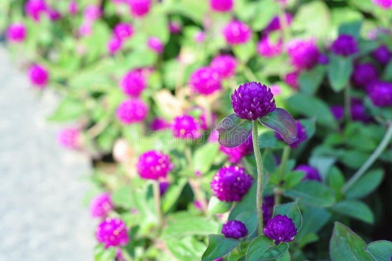 Lilan blommar, en grupp av raka purpurfärgade blommor royaltyfria foton