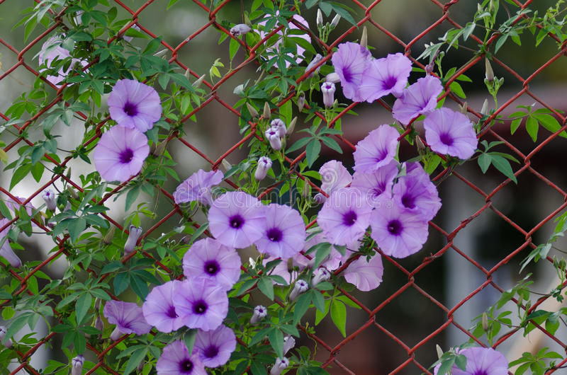Lilan blommar ipomoeaen Cairica som härlig blom fäktar på a-stjärnan royaltyfri foto