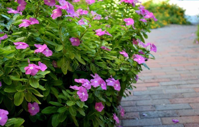Lilan blommar längs en tegelstenbana arkivfoton