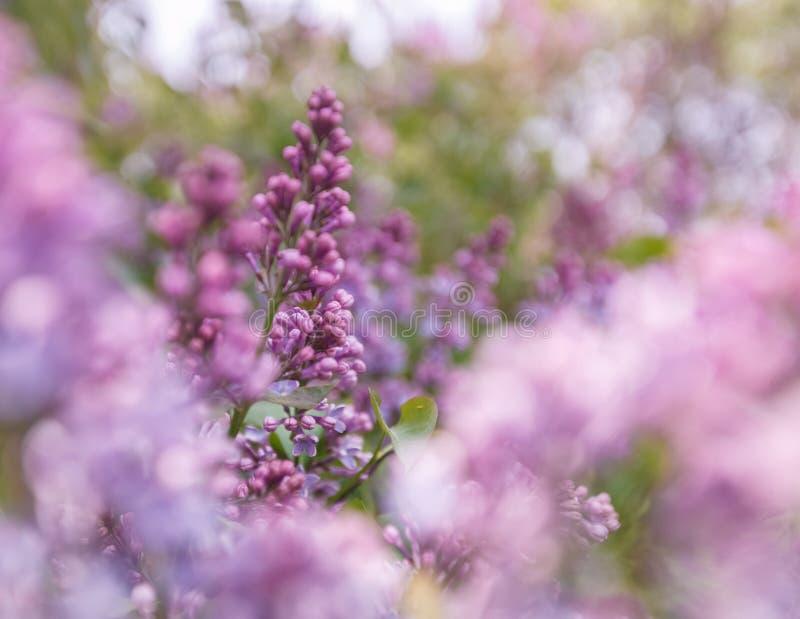 Lilan blommar lila utomhus royaltyfria bilder