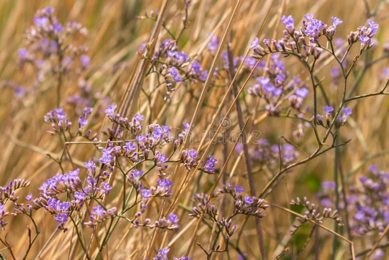 Lilan blommar med torrt gräs i sommarfält Blommande begrepp Ört och blommabakgrund royaltyfria foton