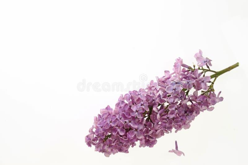 Lilan blommar på en vit bakgrund royaltyfri fotografi