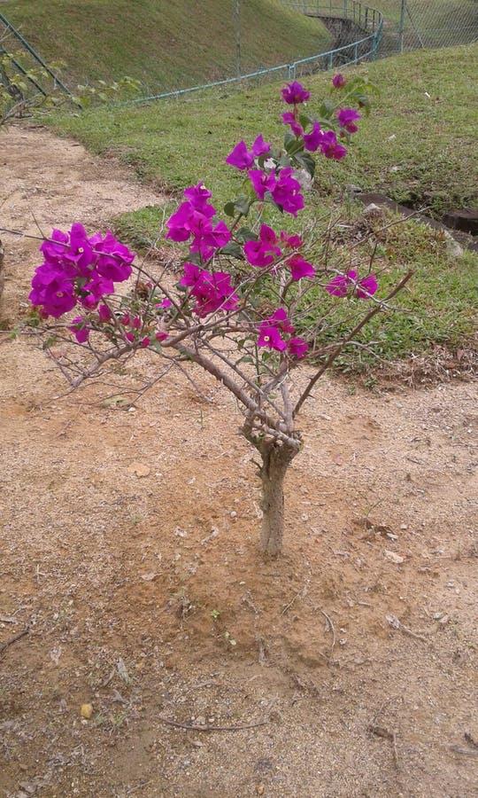 Lilan blommar på träd royaltyfria foton