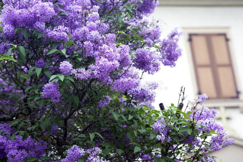 Lilan blommar trädet framme av ett hus royaltyfri bild