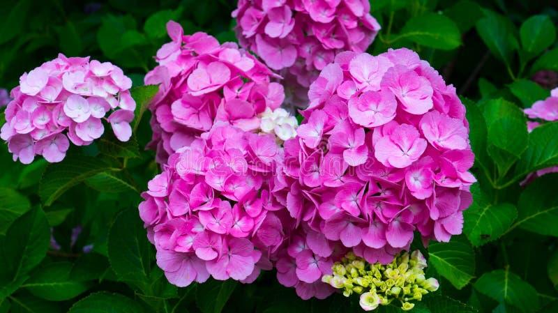 Lilan blommar vanlig hortensianärbild royaltyfri bild