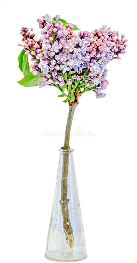 Lilan den vulgaris rosa syringaen (den lila eller gemensamma lilan) blommar i en genomskinlig vas, slut upp, isolerad vit bakgrun arkivfoto