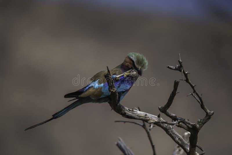 Lilan gick mot rullen som skrapar hans huvud på den Kruger nationalparken fotografering för bildbyråer