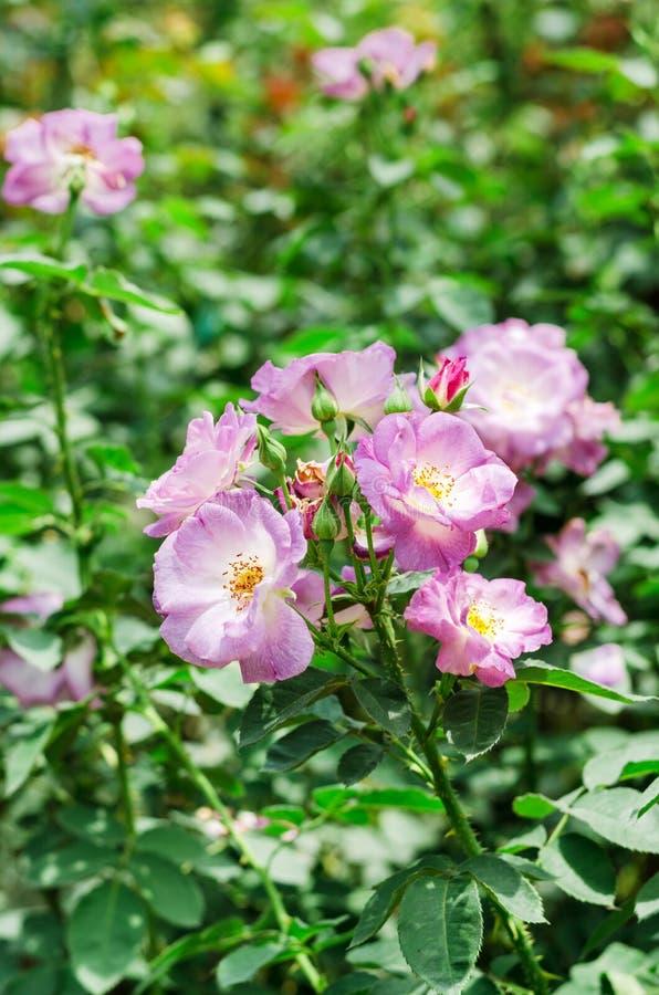 Lilaros i trädgård royaltyfri fotografi