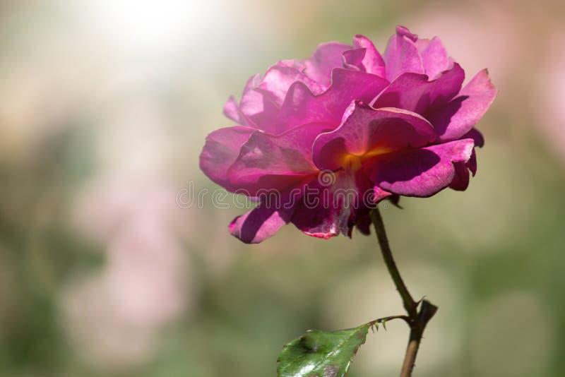 Lilarosblomma med solljus royaltyfria foton