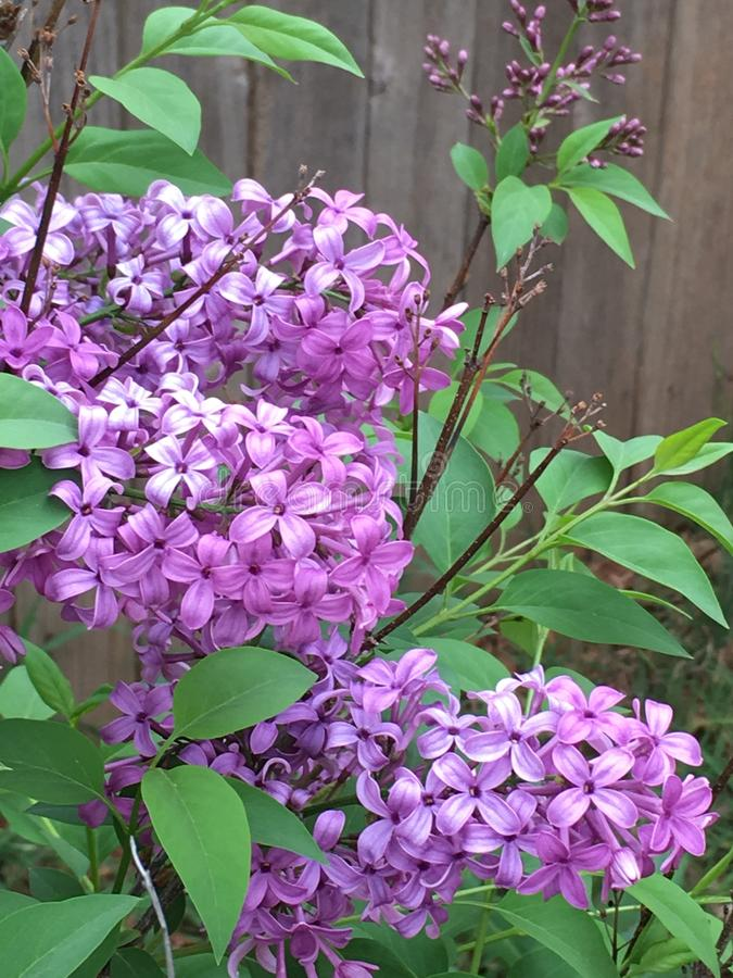 Lilas 2018-2 photographie stock