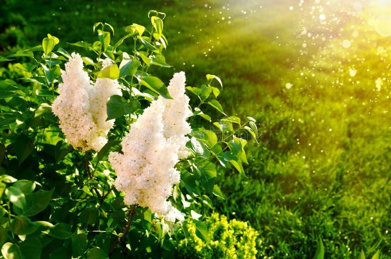 Lilas blanc de floraison sur la pelouse de vert de fond image stock