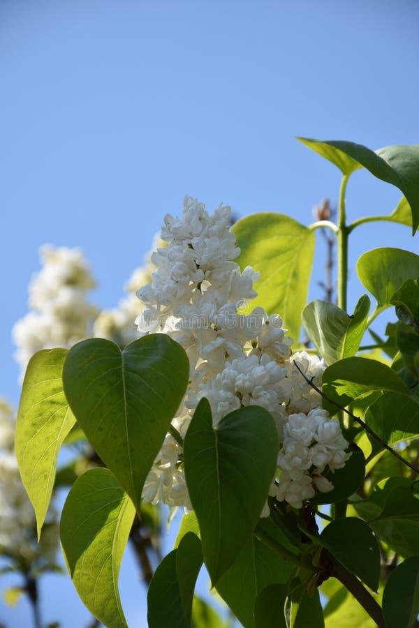 Lilas blancas hermosas que florecen contra un cielo azul fotos de archivo libres de regalías
