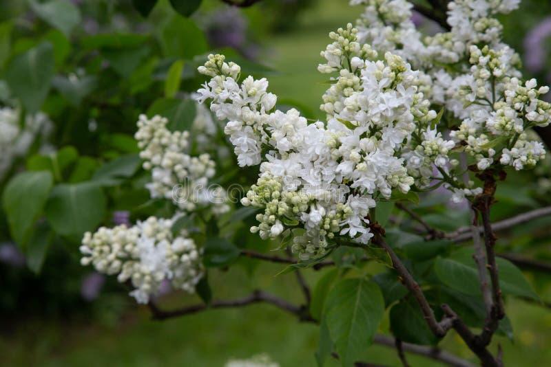 Lilas com Common lilac Syringa vulgaris. Miss Ellen Willmott Oleaceae Origine horticole Garden stock photo