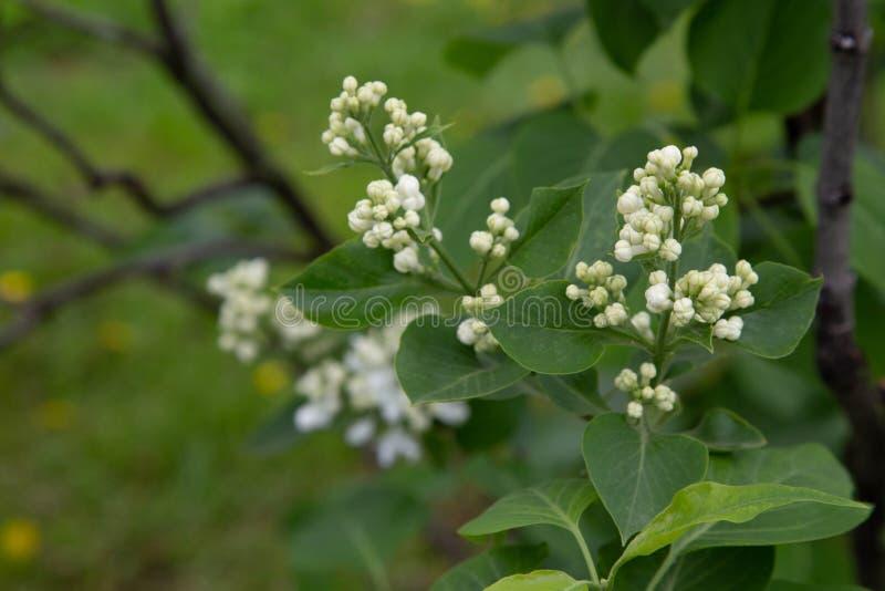 Lilas com Common lilac Syringa vulgaris. Lilas com.Common lilac.Syringa vulgaris.`Miss Ellen Willmott`.Oleaceae Origine horticole Garden stock images