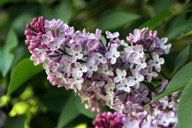 Lilas commun, Syringa vulgaris avec des flovers roses photo stock