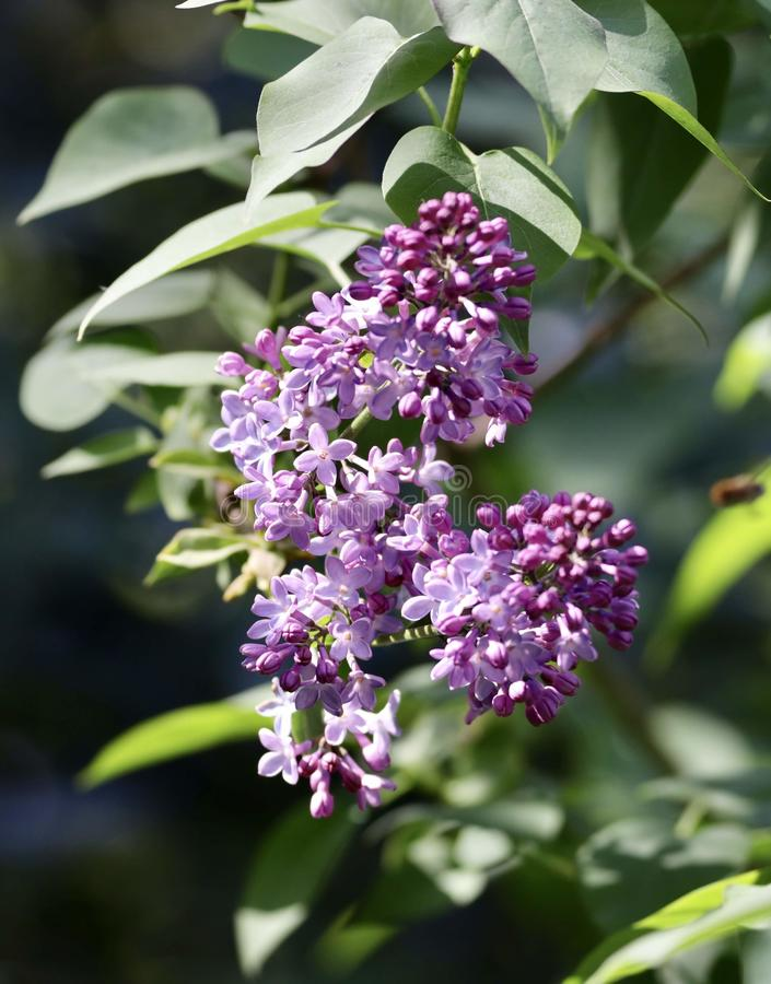 Lilas commun vulgaris de Syringa photo stock