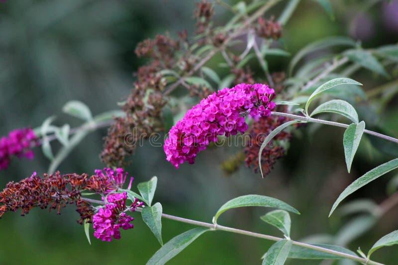 Lilas d'été ou usine de davidii de buddleia avec le lilas à la floraison violette et les fleurs défraîchies dans les transitoires photographie stock libre de droits