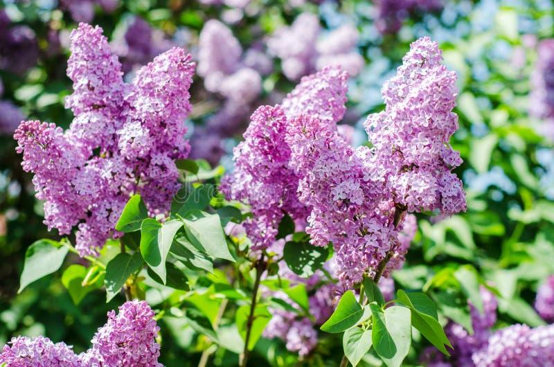 Lilas dans la fleur photos libres de droits