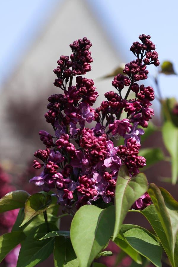 Lilas de floraison (Syringa) devant la Chambre photos stock