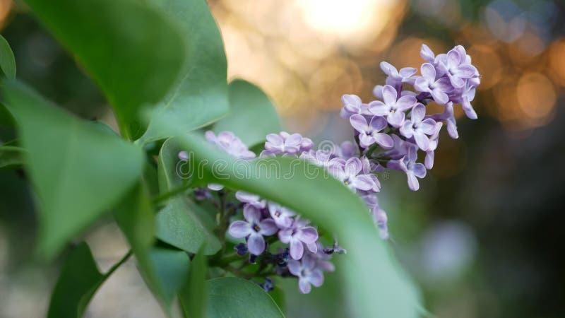 Lilas en parc de ressort - une branche de lilas dans les rayons du coucher de soleil image libre de droits