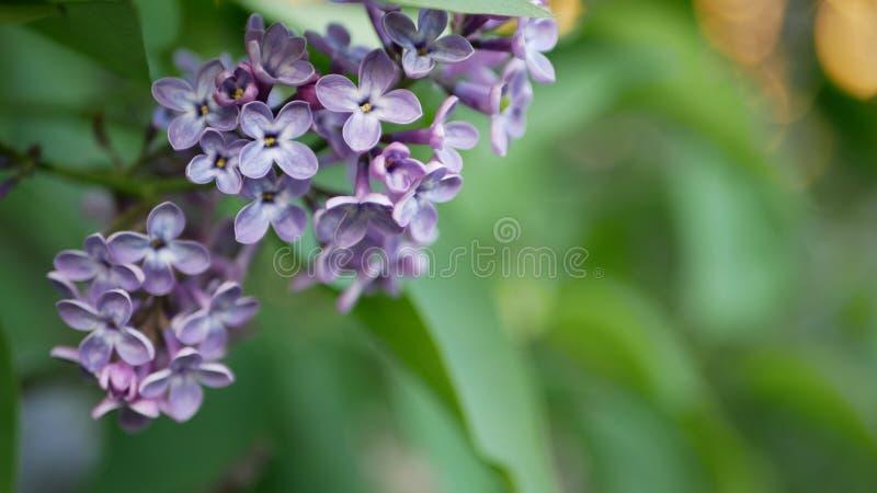 Lilas en parc de ressort - une branche de lilas dans les rayons du coucher de soleil photographie stock libre de droits
