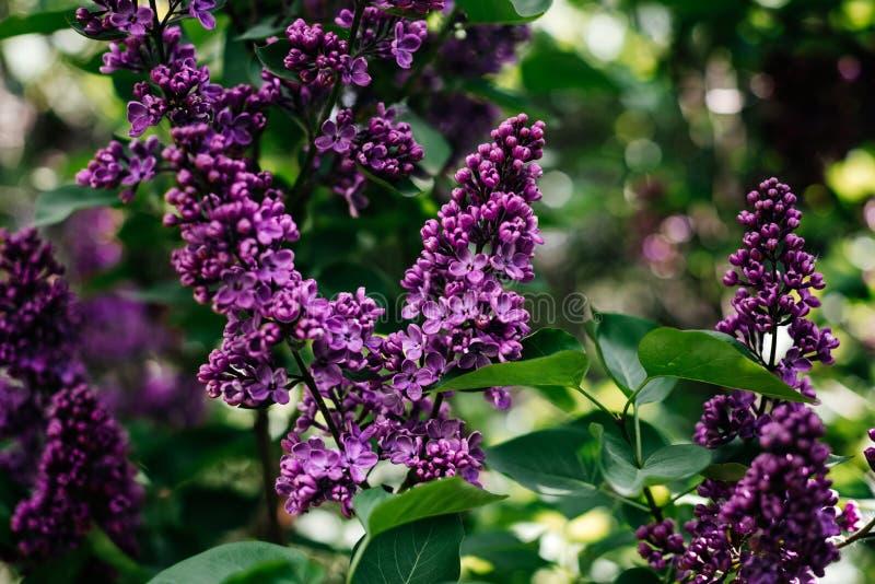 Lilas en parc - photo de Bush dans la forêt images stock