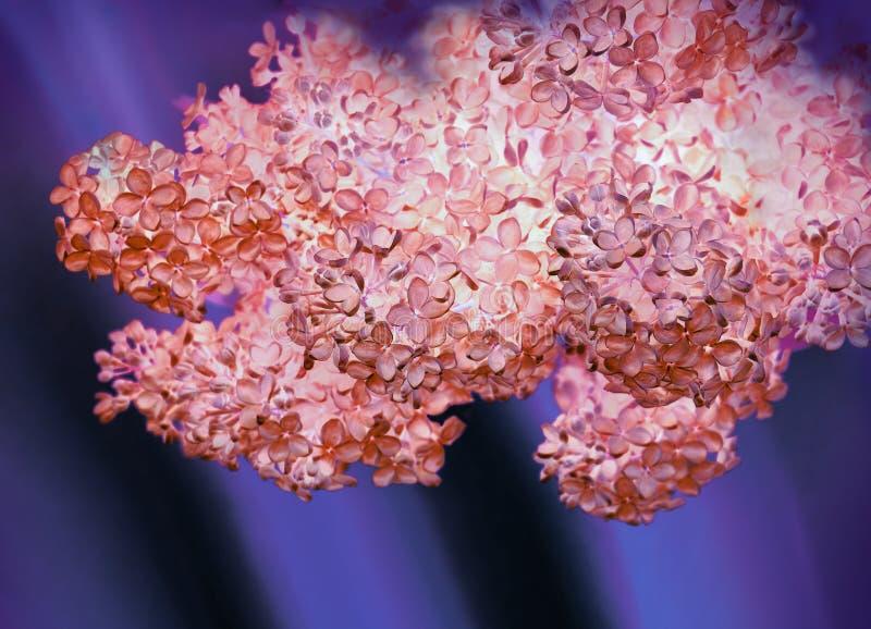 Download Lilas fragantes de la rama foto de archivo. Imagen de floración - 64212240
