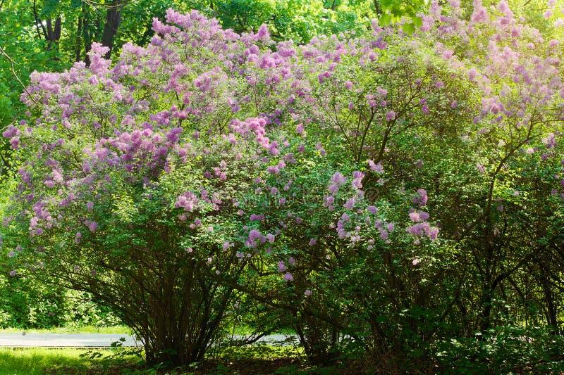 Lilas lilas ou commun, Syringa vulgaris dans la fleur Horticulture pourpre sur l'arbuste de floraison lilas en parc photos libres de droits