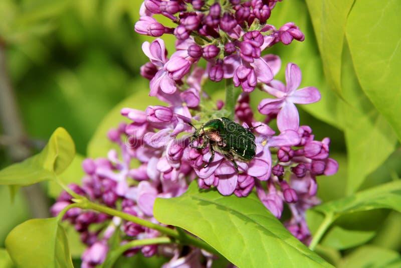 Lilas ou seringue avec le petit scarabée Fleurs pourpres color?es de lilas avec les feuilles vertes Configuration florale Texture images libres de droits