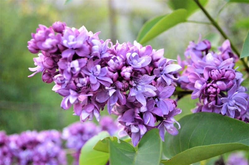 Lilas persan - le début de la floraison Avril 2018 images libres de droits
